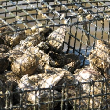 Public Health closes oyster bed harvesting areas
