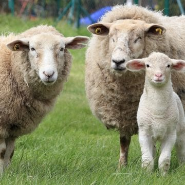 Ewe Now Have Sheep in New Program at Tuscaloosa School