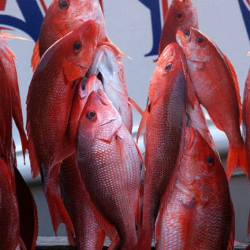 Red Snapper Fishing Capacities Increased for the Gulf of Mexico