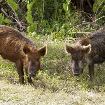 Alabama to Receive $3.7 million from USDA to Control Feral Hog Population