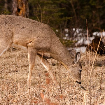 Alabama ups deer checks as disease spreads in neighboring states