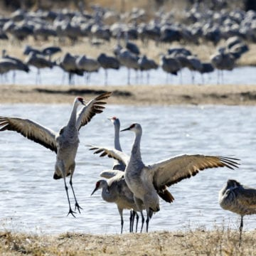 Festival of Cranes factored into new hunting season, concerns remain