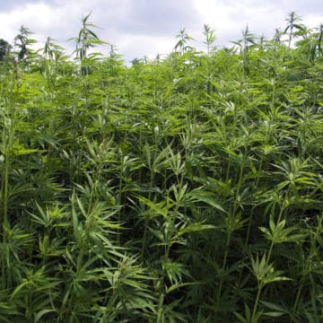 So far, so good for state hemp crop as THC tests pass muster